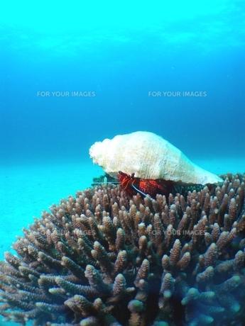 珊瑚の上のヤドカリの写真素材 [FYI00423389]