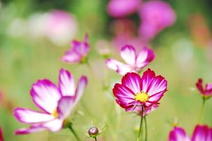 コスモスの花の写真素材 [FYI00423420]