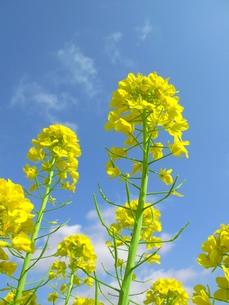 菜の花の写真素材 [FYI00423437]