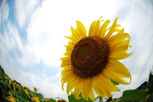ひまわりの花の写真素材 [FYI00423456]