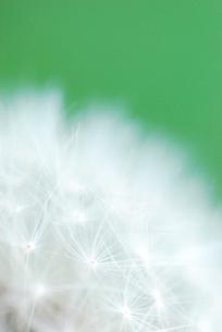 タンポポの綿毛の写真素材 [FYI00423472]