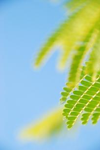 ネムの葉の写真素材 [FYI00423483]