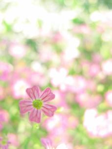 ピンクの小さい花の写真素材 [FYI00423497]