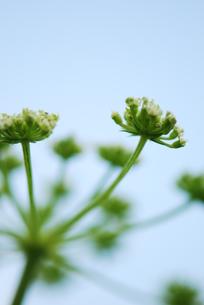 花火のような植物の写真素材 [FYI00423498]