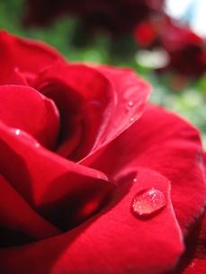 水滴のついた薔薇の花びらの写真素材 [FYI00423519]