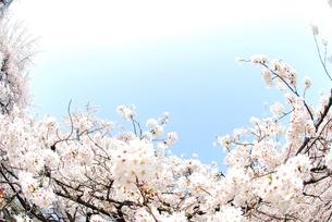 満開の桜の素材 [FYI00423558]