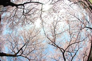 桜の天井の素材 [FYI00423560]
