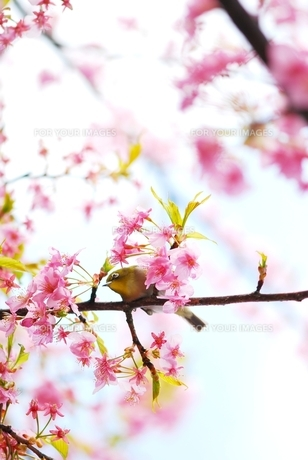 河津桜とメジロの素材 [FYI00423565]