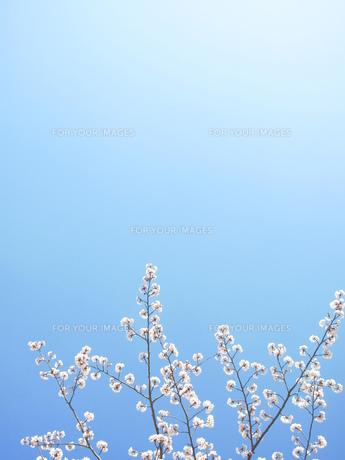 桜の枝の素材 [FYI00423577]
