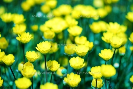 黄色いキクの花の素材 [FYI00423590]