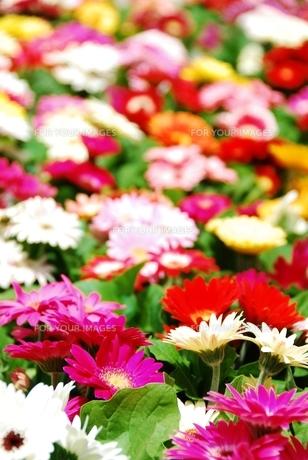 ガーベラの花の素材 [FYI00423593]