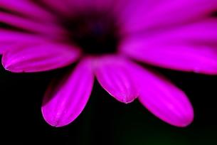オステオスペルマムの花の写真素材 [FYI00423611]