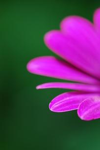オステオスペルマムの花びらの写真素材 [FYI00423613]