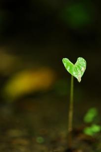 小さい芽の写真素材 [FYI00423681]