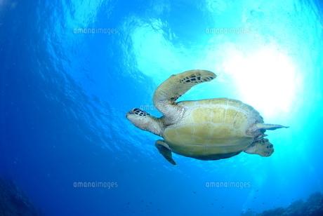 ウミガメの写真素材 [FYI00423701]