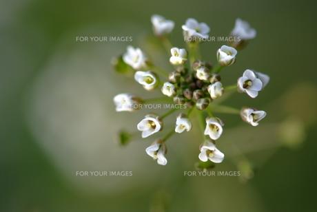 ナズナの花の素材 [FYI00423741]