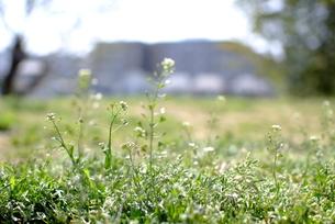 野原に咲くナズナの花の素材 [FYI00423751]