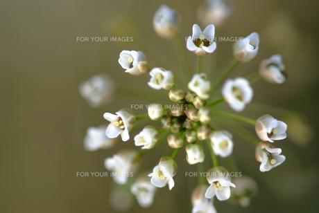 ナズナの花の素材 [FYI00423753]