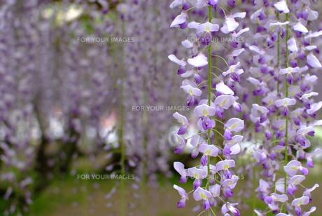 藤の花の素材 [FYI00423790]