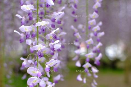 藤の花の素材 [FYI00423806]