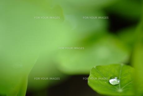 葉の上の水滴の素材 [FYI00423979]
