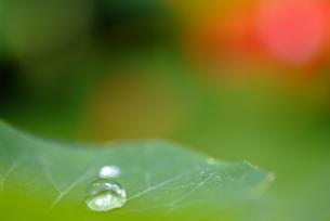 葉の上の水滴の素材 [FYI00423988]