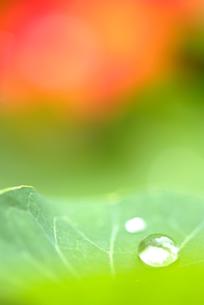 葉の上の水滴の素材 [FYI00423992]