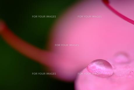 花びらの上の水滴の素材 [FYI00423994]