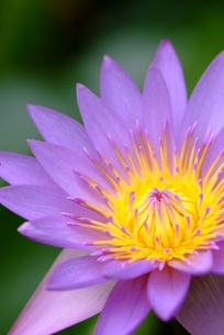 蓮の花の素材 [FYI00423995]