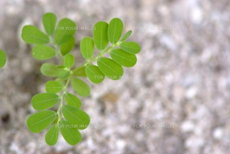ネムの木の芽の素材 [FYI00423998]