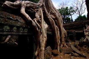 タプロムの樹に浸食された遺跡の写真素材 [FYI00424204]