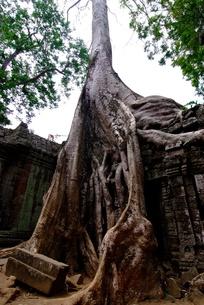 タプロムの樹に浸食された遺跡の写真素材 [FYI00424217]