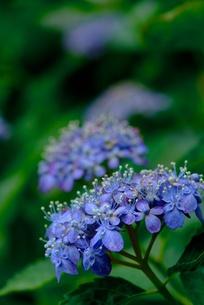 アジサイの花 の素材 [FYI00424237]