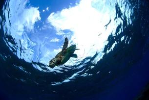 ウミガメと青い空の写真素材 [FYI00424290]