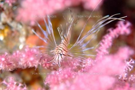 ミノカサゴの幼魚の素材 [FYI00424330]