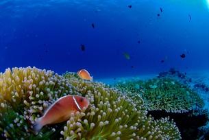 ハナビラクマノミと珊瑚礁の素材 [FYI00424339]
