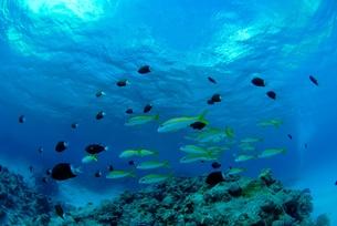 浅瀬を泳ぐアカヒメジの群れの素材 [FYI00424341]