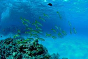 浅瀬を泳ぐアカヒメジの群れの素材 [FYI00424343]
