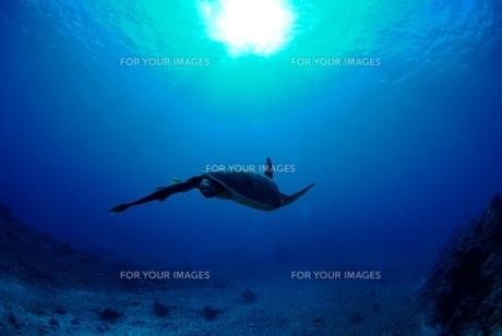 泳ぐウミガメのシルエットの素材 [FYI00424351]