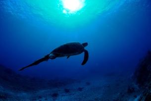 泳ぐウミガメのシルエットの素材 [FYI00424357]