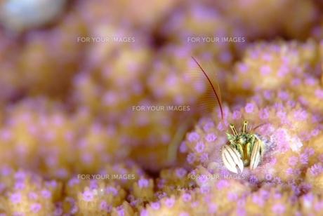 綺麗なサンゴに住むカンザシヤドカリの素材 [FYI00424359]