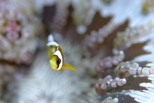 ジュズダマイソギンチャクに住むクマノミの幼魚の素材 [FYI00424371]
