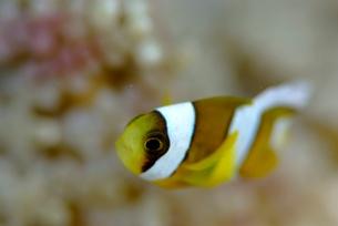 ジュズダマイソギンチャクに住むクマノミの幼魚の素材 [FYI00424373]
