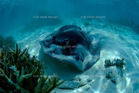 モルディブの浅瀬のウシエイの写真素材 [FYI00424402]