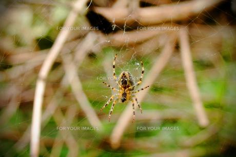 蜘蛛と蜘蛛の巣の写真素材 [FYI00424425]