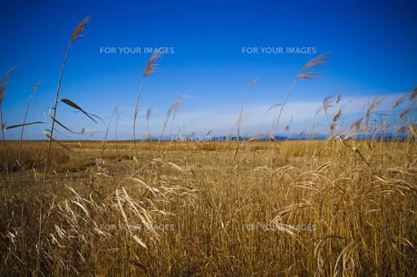 葦の広がる風景の写真素材 [FYI00424463]