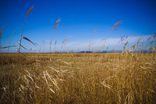 葦の広がる風景の素材 [FYI00424463]