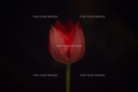Tulipの素材 [FYI00424486]