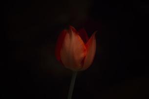 Tulip02の素材 [FYI00424492]