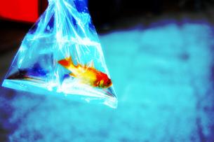 金魚 夏祭りの写真素材 [FYI00424775]